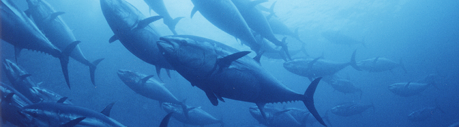 Completely farm-raised bluefin tuna